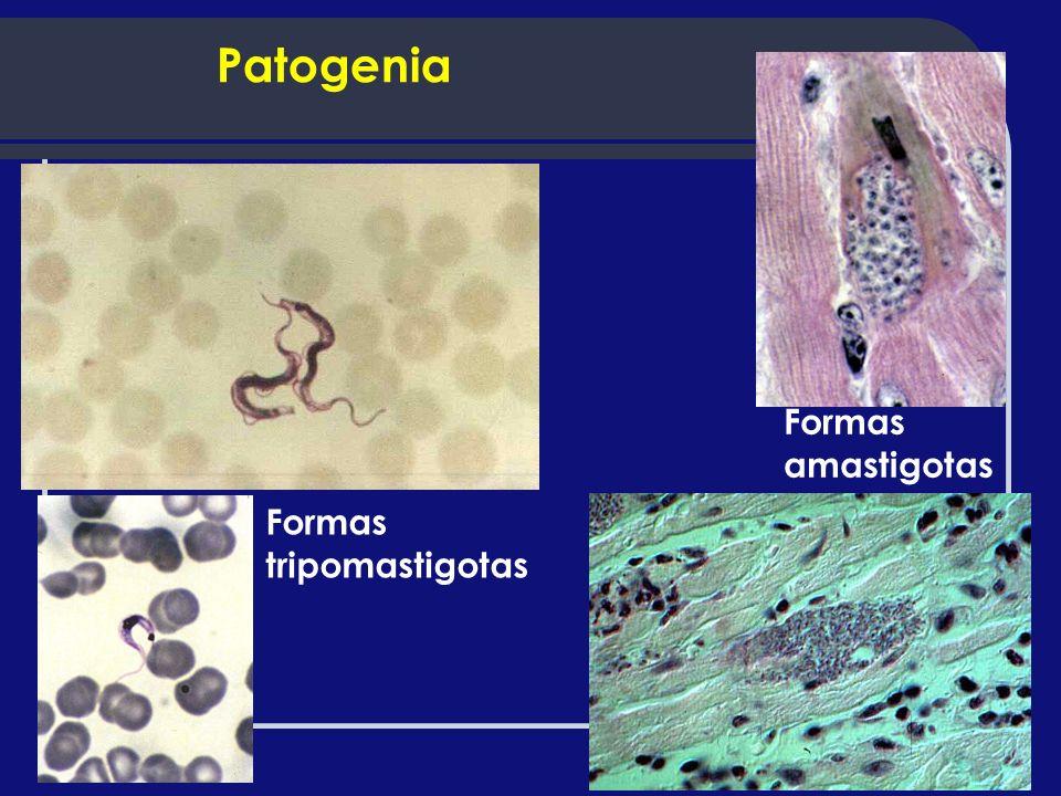 Formas tripomastigotas Formas amastigotas Patogenia