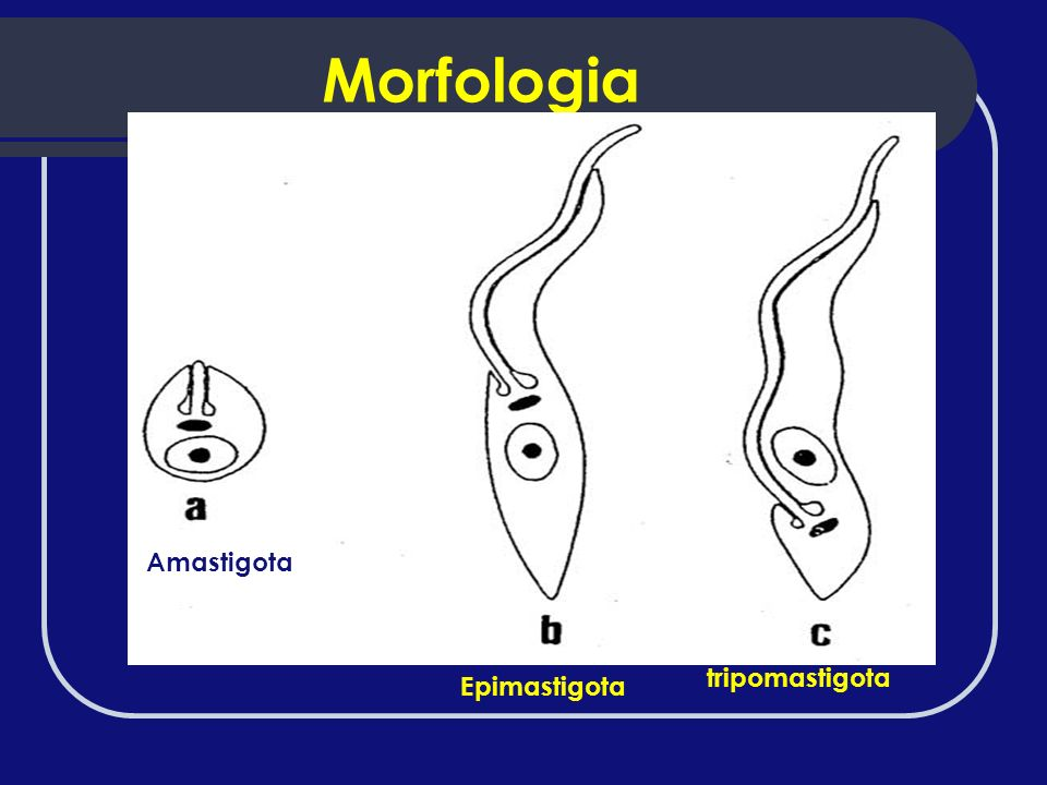 Morfologia Amastigota Epimastigota tripomastigota