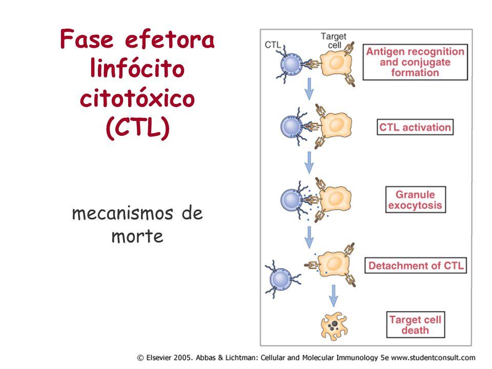 Fase efetora linfócito citotóxico (CTL) mecanismos de morte