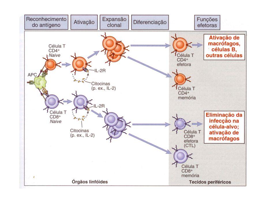 Opsonização Fab se liga ao antígeno = opsonização Fc se liga ao receptor = fagocitose