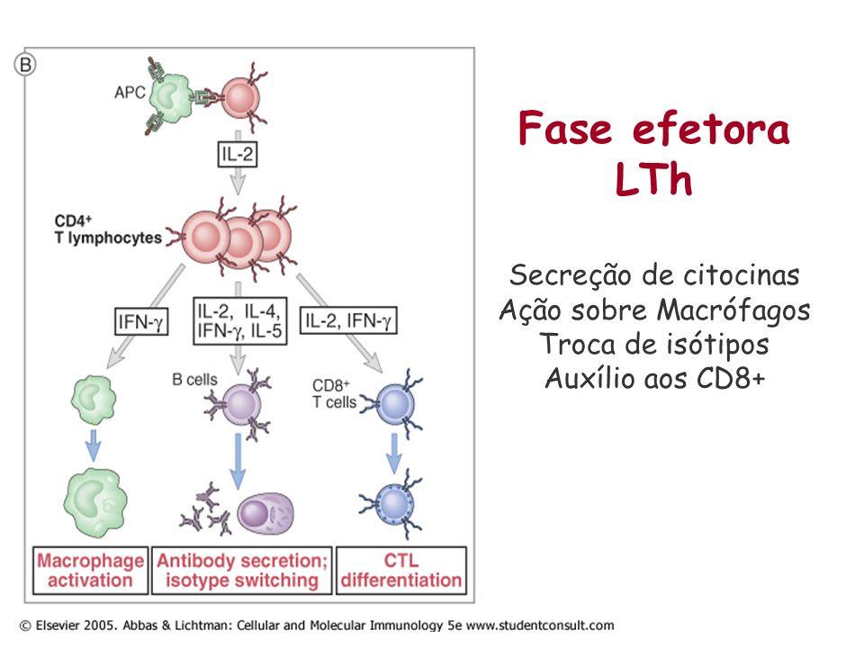 Subpopulações dos linfócitos T CD4+ Th1 e Th2 dicotomia Secreção diferencial de citocinas Th1 relacionada com ativação da resposta celular Th2 relacionada com ativação da Resposta humoral Th17 Recente Relacionada com auto-imunidade Pró-inflamatória Treg Regulatórias Modulação da resposta IL-4