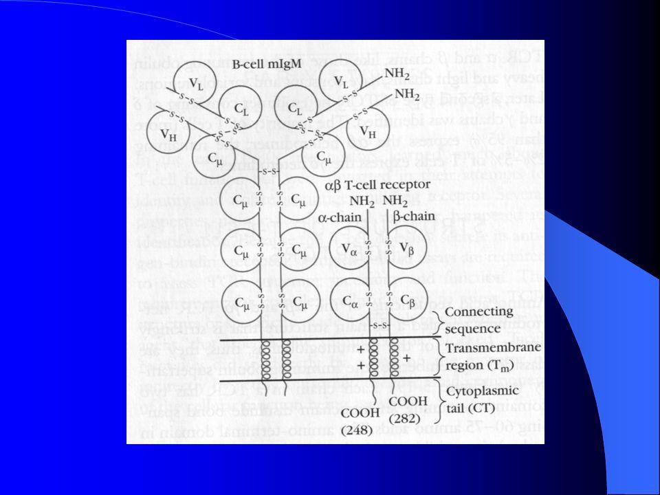 MOLÉCULAS ACESSÓRIAS : - Complexo CD3 - Moléculas CD4 e CD8