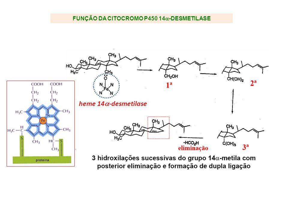 FUNÇÃO DA CITOCROMO P450 14 -DESMETILASE heme 14 -desmetilase
