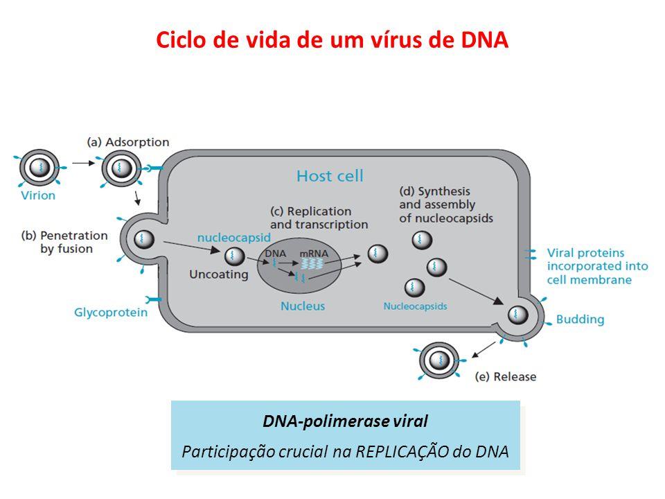 Ciclo de vida de um vírus de DNA DNA-polimerase viral Participação crucial na REPLICAÇÃO do DNA DNA-polimerase viral Participação crucial na REPLICAÇÃ
