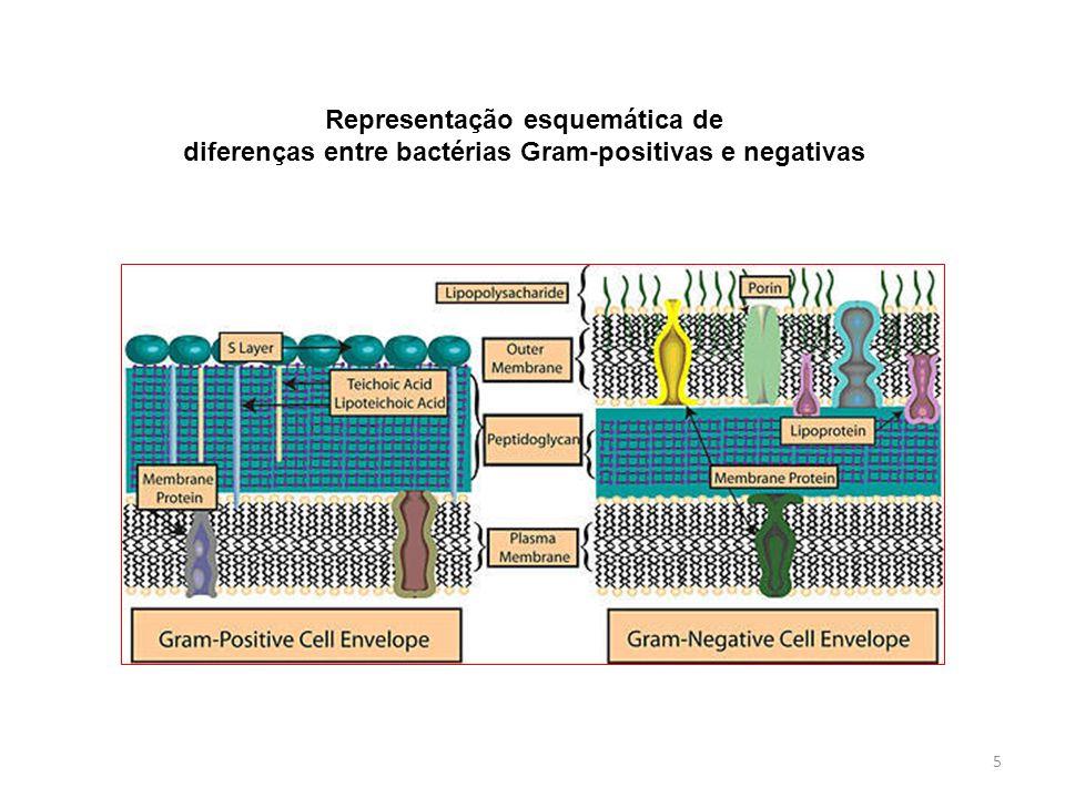5 Representação esquemática de diferenças entre bactérias Gram-positivas e negativas