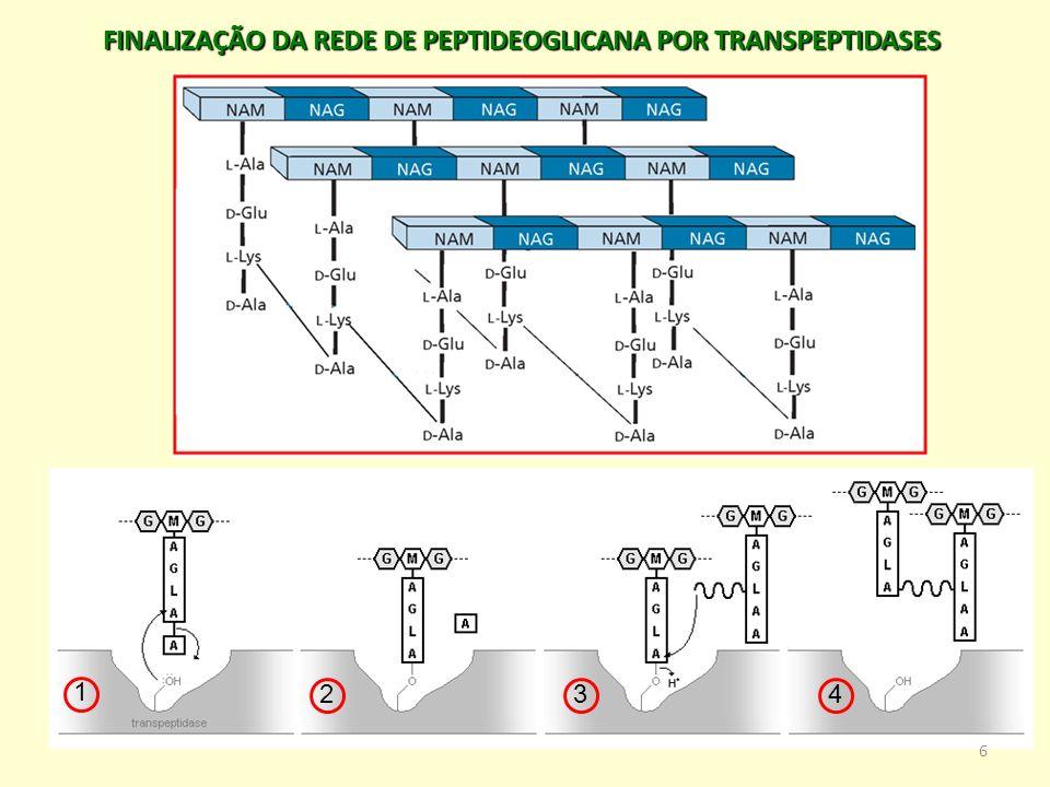 FINALIZAÇÃO DA REDE DE PEPTIDEOGLICANA POR TRANSPEPTIDASES 1 234 6
