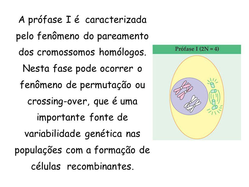 A prófase I é caracterizada pelo fenômeno do pareamento dos cromossomos homólogos. Nesta fase pode ocorrer o fenômeno de permutação ou crossing-over,