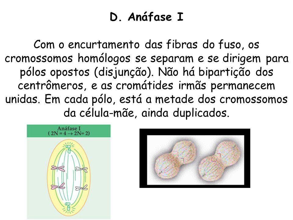 D. Anáfase I Com o encurtamento das fibras do fuso, os cromossomos homólogos se separam e se dirigem para pólos opostos (disjunção). Não há bipartição