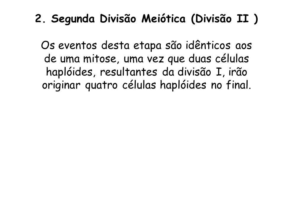 2. Segunda Divisão Meiótica (Divisão II ) Os eventos desta etapa são idênticos aos de uma mitose, uma vez que duas células haplóides, resultantes da d
