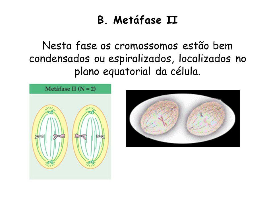 B. Metáfase II Nesta fase os cromossomos estão bem condensados ou espiralizados, localizados no plano equatorial da célula.