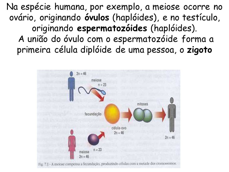 Modelo sobre a meiose