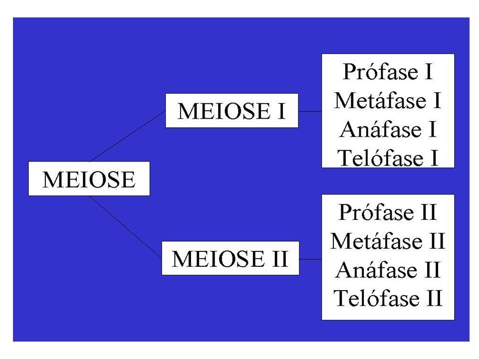 Divisão I ou Divisão Reducional Separação de homólogos, 2n > N Prófase I Fase de grande duração devido aos fenômenos que nela ocorrem A prófase I é dividida em cinco subdivisões: leptóteno, zigóteno, paquíteno, diplóteno e diacinese