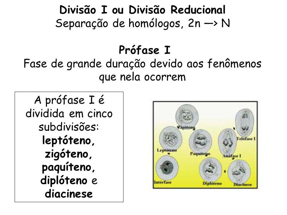 Divisão I ou Divisão Reducional Separação de homólogos, 2n > N Prófase I Fase de grande duração devido aos fenômenos que nela ocorrem A prófase I é di