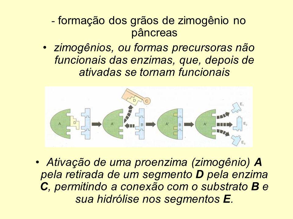 - formação dos grãos de zimogênio no pâncreas zimogênios, ou formas precursoras não funcionais das enzimas, que, depois de ativadas se tornam funciona