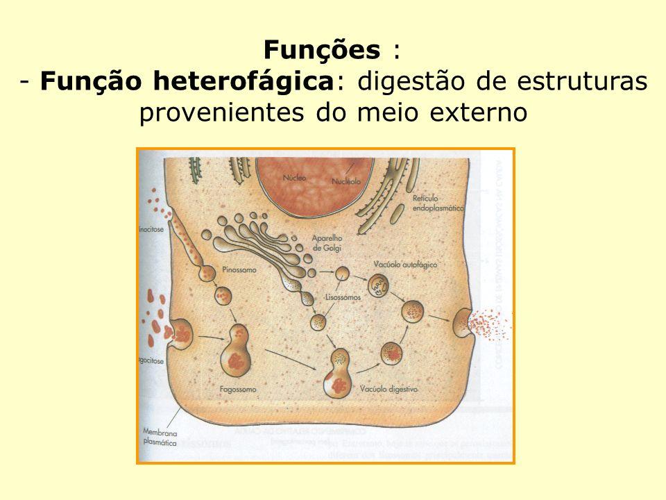 Funções : - Função heterofágica: digestão de estruturas provenientes do meio externo