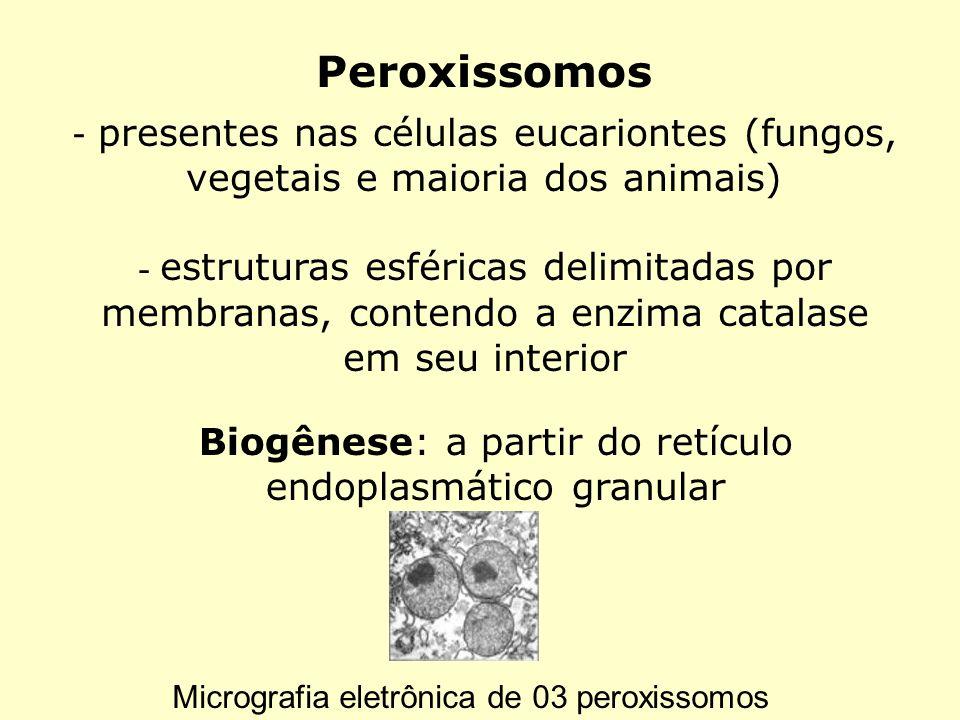 Peroxissomos - presentes nas células eucariontes (fungos, vegetais e maioria dos animais) - estruturas esféricas delimitadas por membranas, contendo a