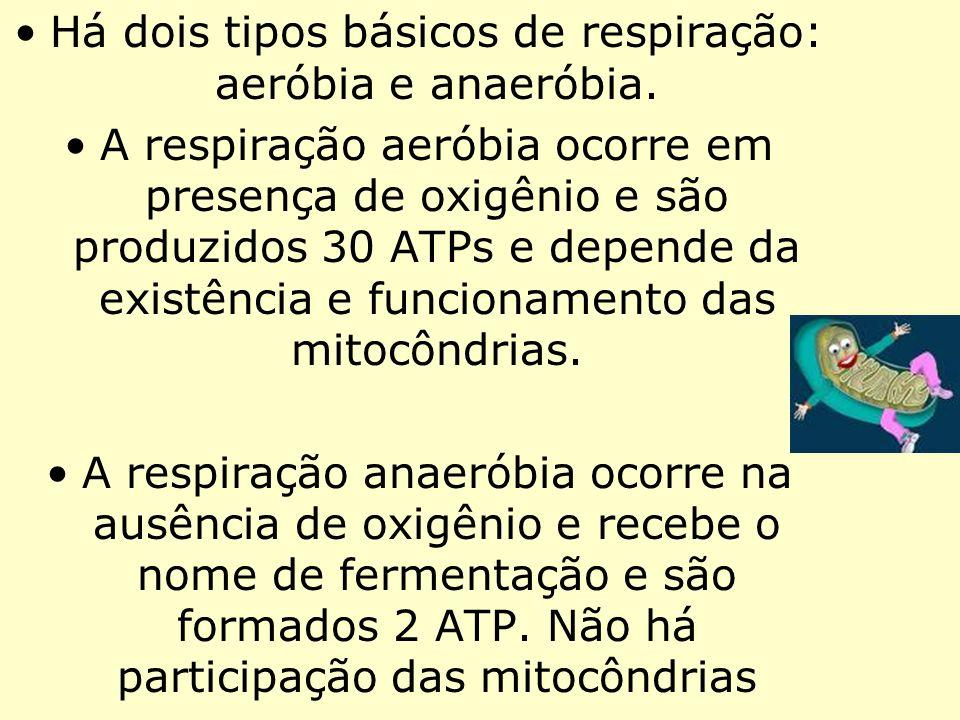 Há dois tipos básicos de respiração: aeróbia e anaeróbia. A respiração aeróbia ocorre em presença de oxigênio e são produzidos 30 ATPs e depende da ex