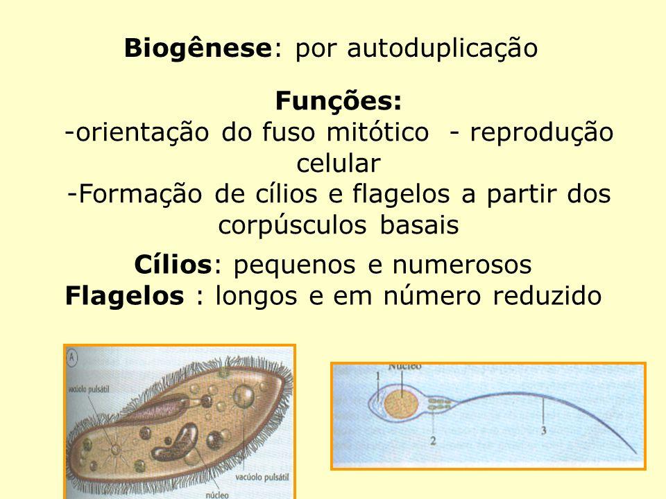 Biogênese: por autoduplicação Funções: -orientação do fuso mitótico - reprodução celular -Formação de cílios e flagelos a partir dos corpúsculos basai