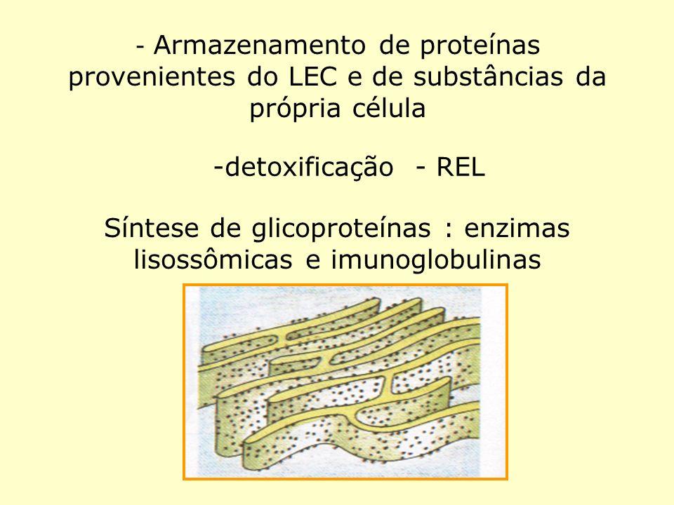 - Armazenamento de proteínas provenientes do LEC e de substâncias da própria célula -detoxificação - REL Síntese de glicoproteínas : enzimas lisossômi