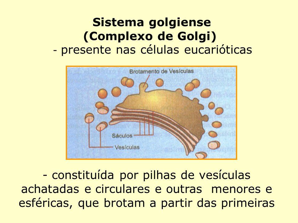 Sistema golgiense (Complexo de Golgi) - presente nas células eucarióticas - constituída por pilhas de vesículas achatadas e circulares e outras menore