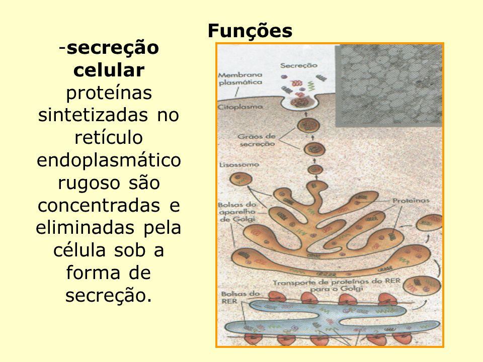 Funções -secreção celular proteínas sintetizadas no retículo endoplasmático rugoso são concentradas e eliminadas pela célula sob a forma de secreção.