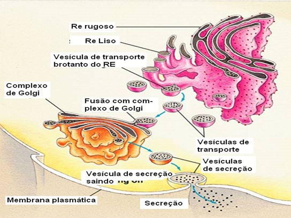 - Formação do acrossomo da cabeça do espermatozóide -síntese de glicoproteínas -Polissacarídeos + proteínas – revestimento de órgãos internos (ex.
