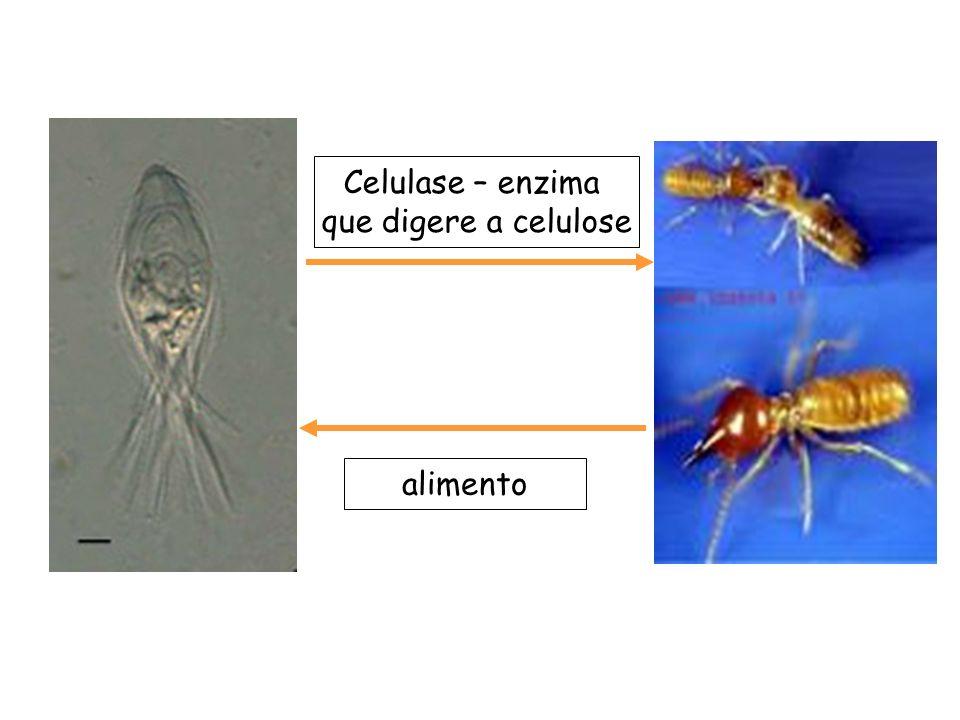 Celulase – enzima que digere a celulose alimento