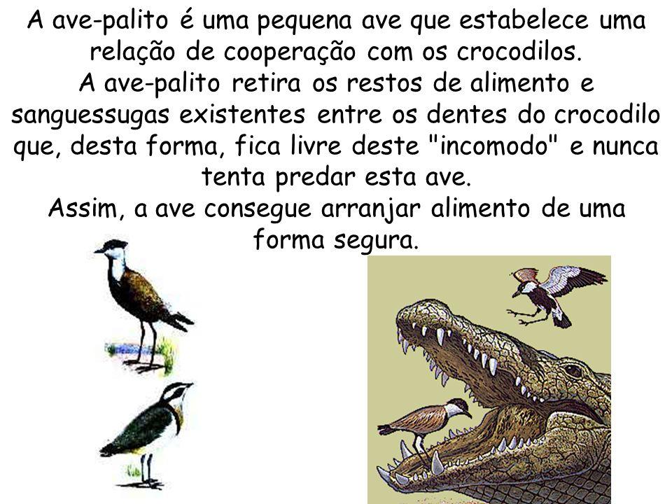 A ave-palito é uma pequena ave que estabelece uma relação de cooperação com os crocodilos. A ave-palito retira os restos de alimento e sanguessugas ex