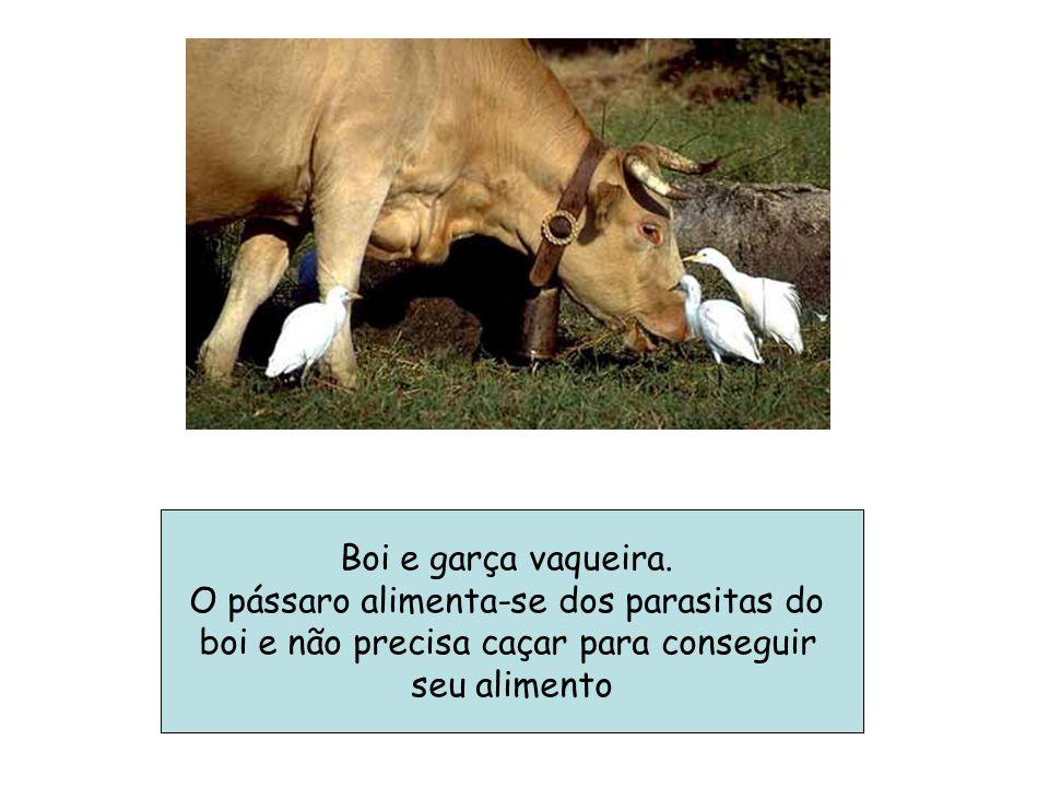 Boi e garça vaqueira. O pássaro alimenta-se dos parasitas do boi e não precisa caçar para conseguir seu alimento