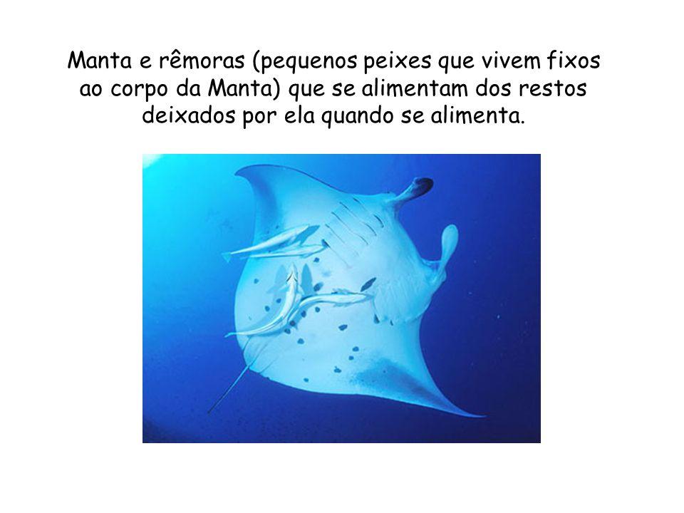 Manta e rêmoras (pequenos peixes que vivem fixos ao corpo da Manta) que se alimentam dos restos deixados por ela quando se alimenta.