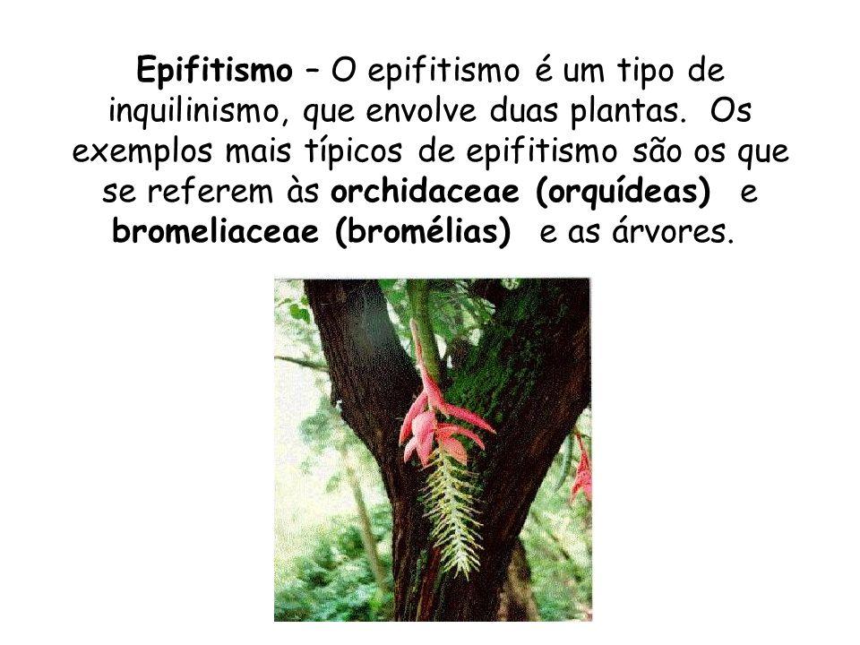 Epifitismo – O epifitismo é um tipo de inquilinismo, que envolve duas plantas. Os exemplos mais típicos de epifitismo são os que se referem às orchida