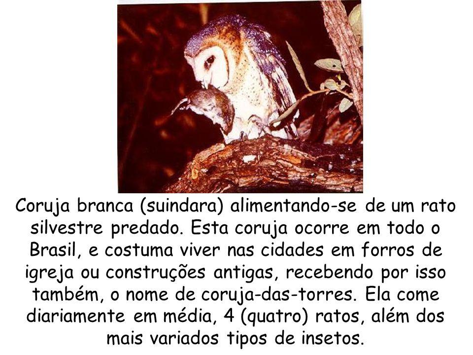 Coruja branca (suindara) alimentando-se de um rato silvestre predado. Esta coruja ocorre em todo o Brasil, e costuma viver nas cidades em forros de ig