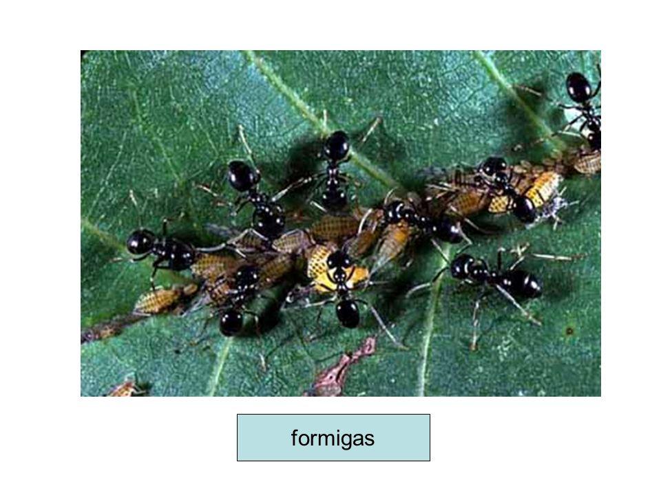 bactérias do gênero Rhizobium (fornecem nitratos) em raízes de leguminosas (fornecem alimento), formando os nódulos radiculares.