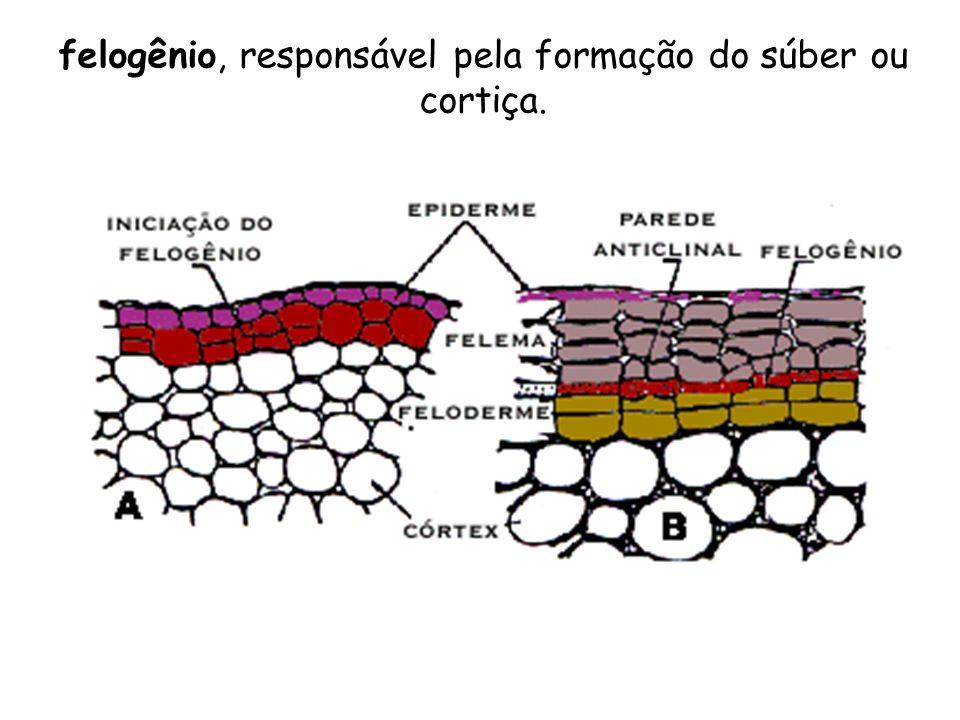 felogênio, responsável pela formação do súber ou cortiça.