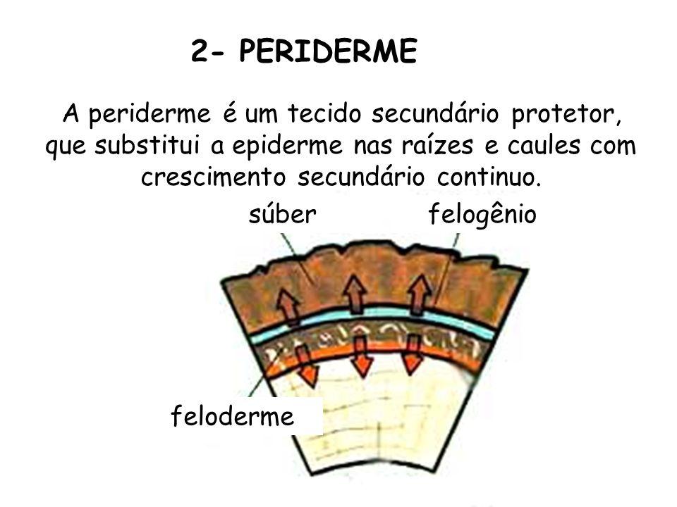 2- PERIDERME A periderme é um tecido secundário protetor, que substitui a epiderme nas raízes e caules com crescimento secundário continuo. súberfelog