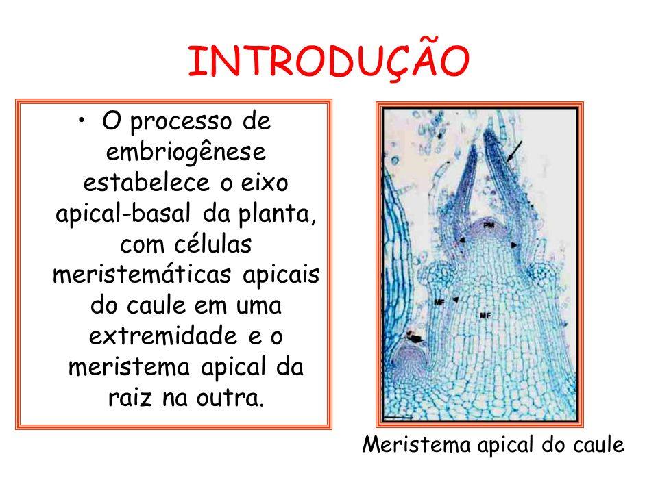 INTRODUÇÃO O processo de embriogênese estabelece o eixo apical-basal da planta, com células meristemáticas apicais do caule em uma extremidade e o mer