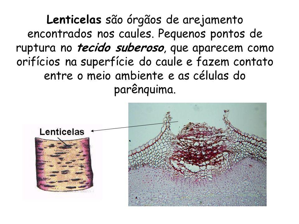 Lenticelas são órgãos de arejamento encontrados nos caules. Pequenos pontos de ruptura no tecido suberoso, que aparecem como orifícios na superfície d