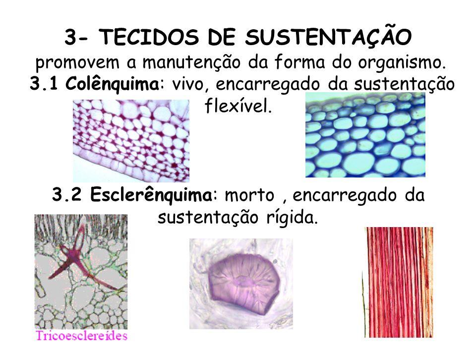3- TECIDOS DE SUSTENTAÇÃO promovem a manutenção da forma do organismo. 3.1 Colênquima: vivo, encarregado da sustentação flexível. 3.2 Esclerênquima: m