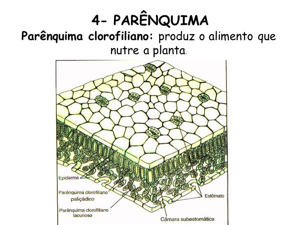 4- PARÊNQUIMA Parênquima clorofiliano: produz o alimento que nutre a planta.