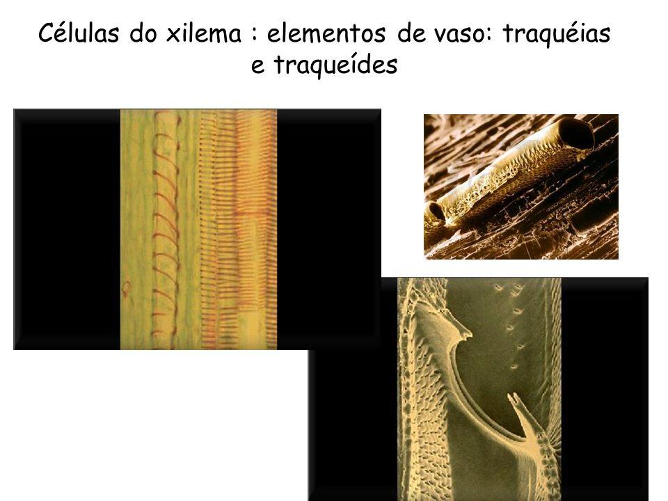 Células do xilema : elementos de vaso: traquéias e traqueídes