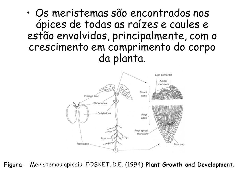 Os meristemas são encontrados nos ápices de todas as raízes e caules e estão envolvidos, principalmente, com o crescimento em comprimento do corpo da