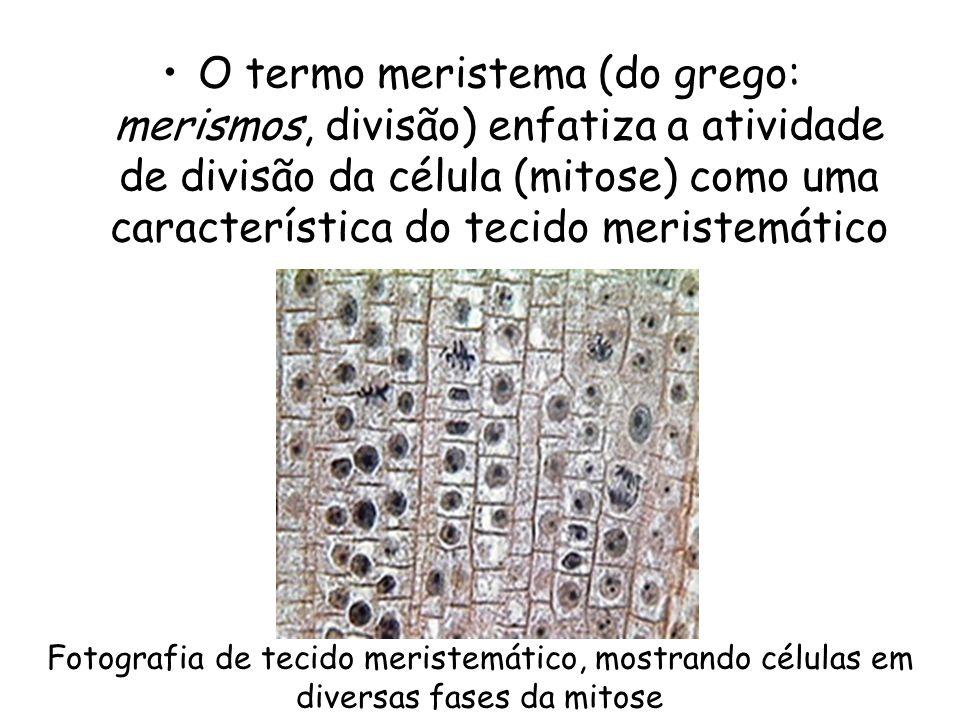 O termo meristema (do grego: merismos, divisão) enfatiza a atividade de divisão da célula (mitose) como uma característica do tecido meristemático Fot