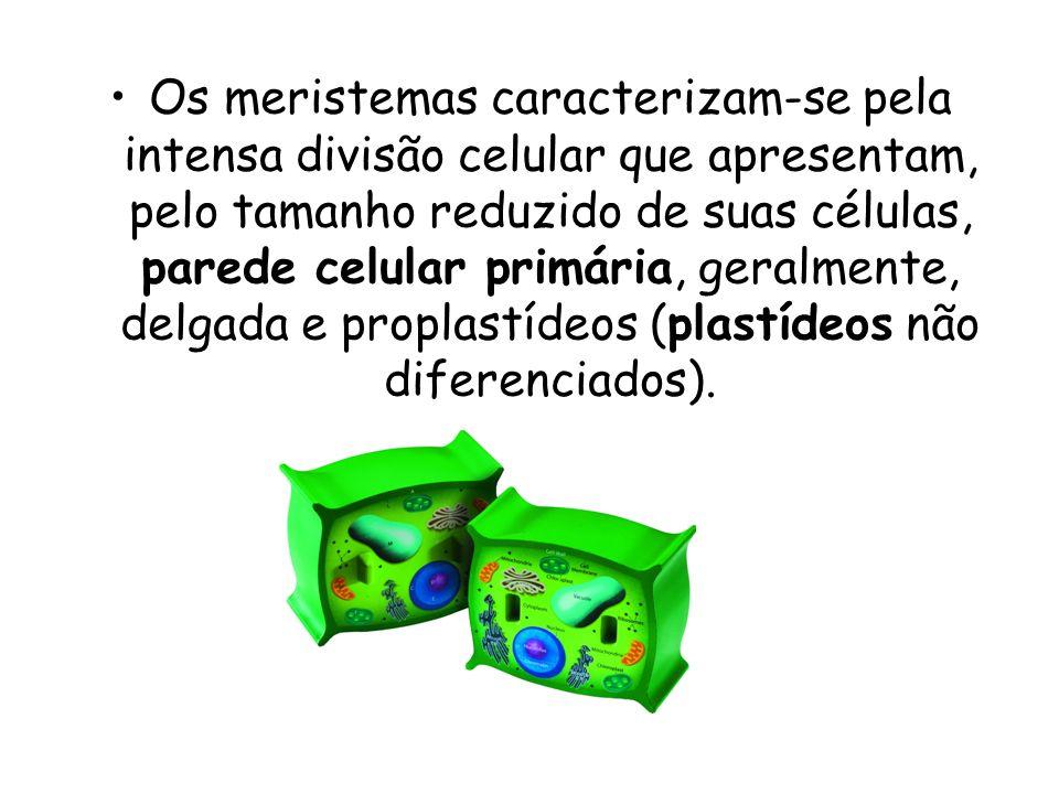 Os meristemas caracterizam-se pela intensa divisão celular que apresentam, pelo tamanho reduzido de suas células, parede celular primária, geralmente,