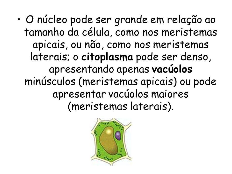 O núcleo pode ser grande em relação ao tamanho da célula, como nos meristemas apicais, ou não, como nos meristemas laterais; o citoplasma pode ser den