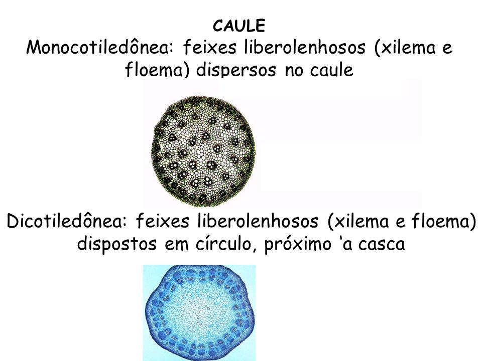 CAULE Monocotiledônea: feixes liberolenhosos (xilema e floema) dispersos no caule Dicotiledônea: feixes liberolenhosos (xilema e floema) dispostos em