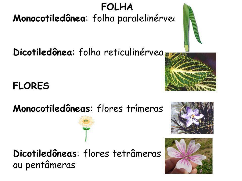 FOLHA Monocotiledônea: folha paralelinérvea Dicotiledônea: folha reticulinérvea FLORES Monocotiledôneas: flores trímeras Dicotiledôneas: flores tetrâm