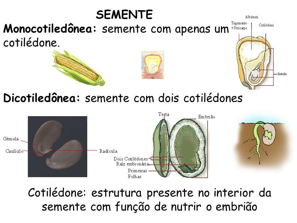 SEMENTE Monocotiledônea: semente com apenas um cotilédone. Dicotiledônea: semente com dois cotilédones Cotilédone: estrutura presente no interior da s