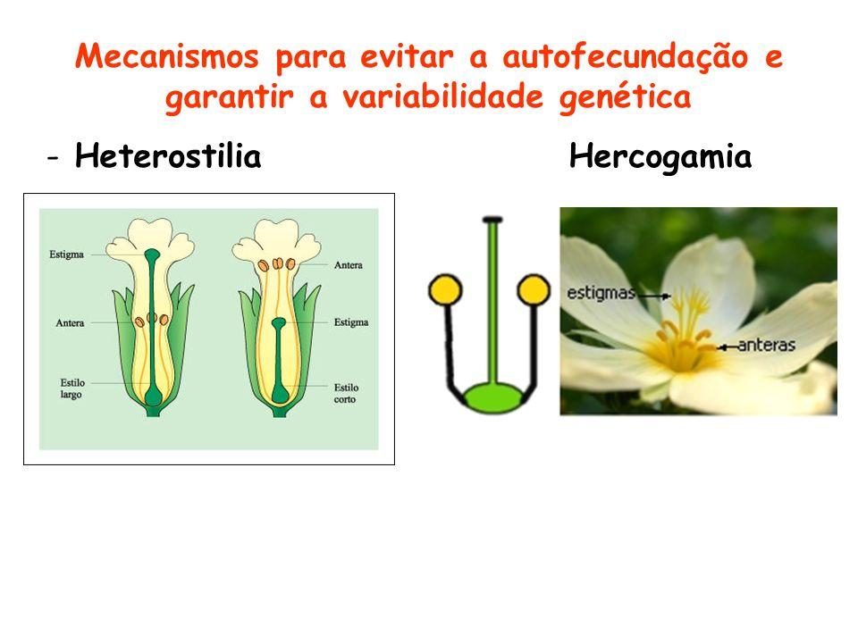 Mecanismos para evitar a autofecundação e garantir a variabilidade genética - Heterostilia Hercogamia