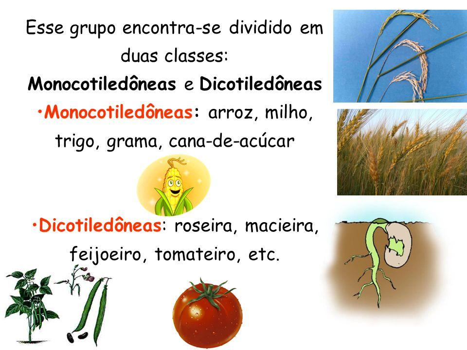 Esse grupo encontra-se dividido em duas classes: Monocotiledôneas e Dicotiledôneas Monocotiledôneas: arroz, milho, trigo, grama, cana-de-acúcar Dicoti