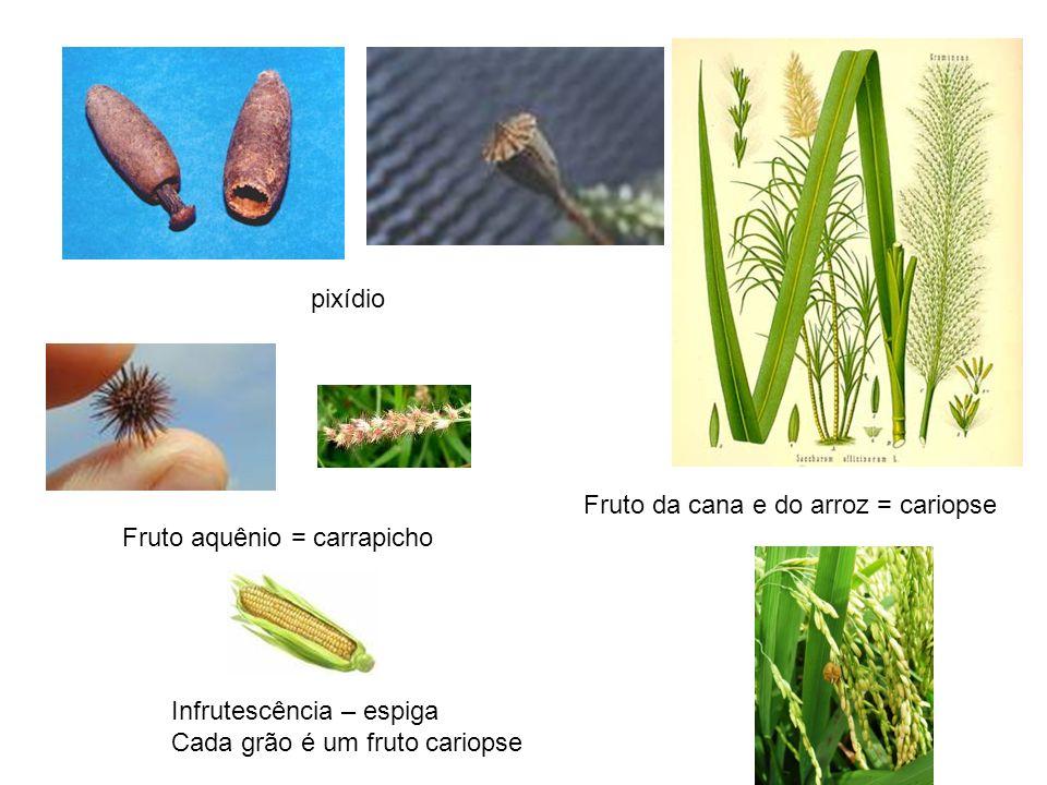 pixídio Fruto da cana e do arroz = cariopse Fruto aquênio = carrapicho Infrutescência – espiga Cada grão é um fruto cariopse